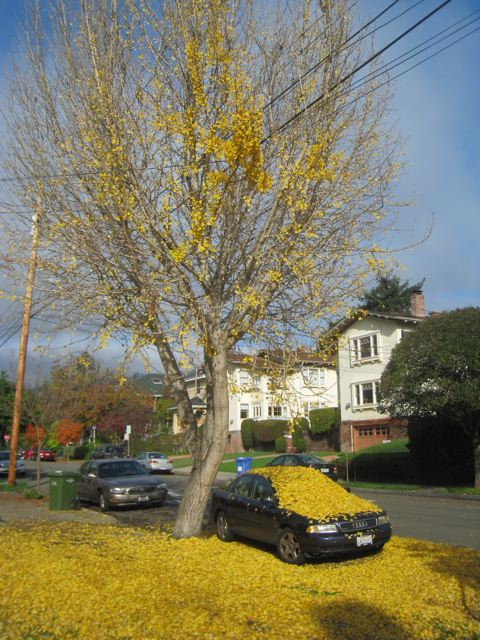 Trees Shed Last Of Their Leaves And We >> Going Going Gone A Ginkgo Biloba Sheds Its Leaves Berkeleyside