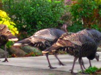 Turkeys in Berkeley