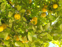 Lemons on bush