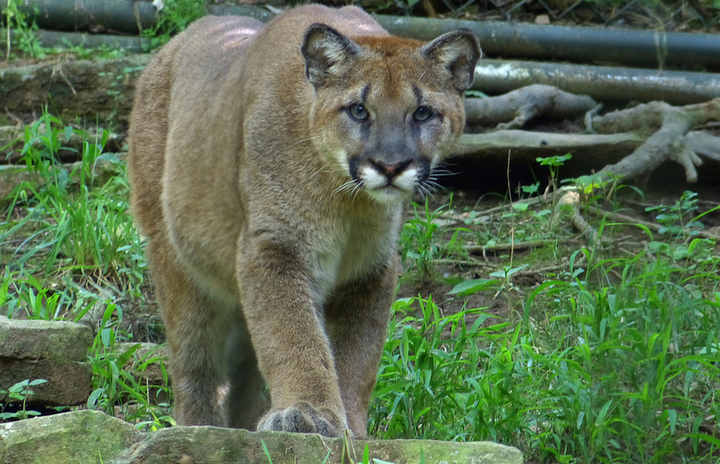 Mountain lion by princecody:CC