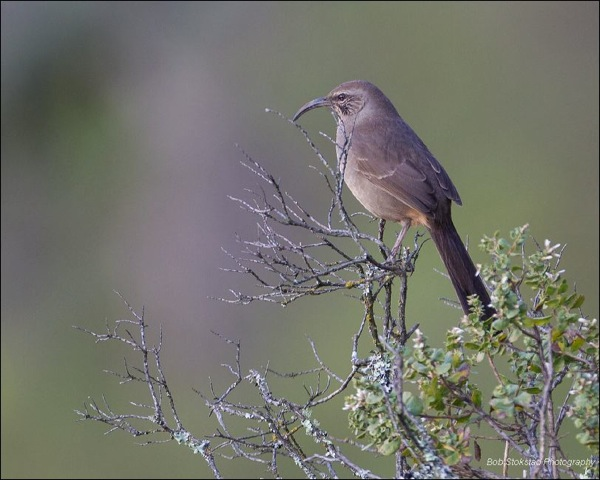 California Thrasher near Claremont Canyon / Photo by Bob Stokstad