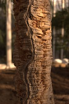 A close up of the bark of a Cork Oak. Photo: Wikipedia