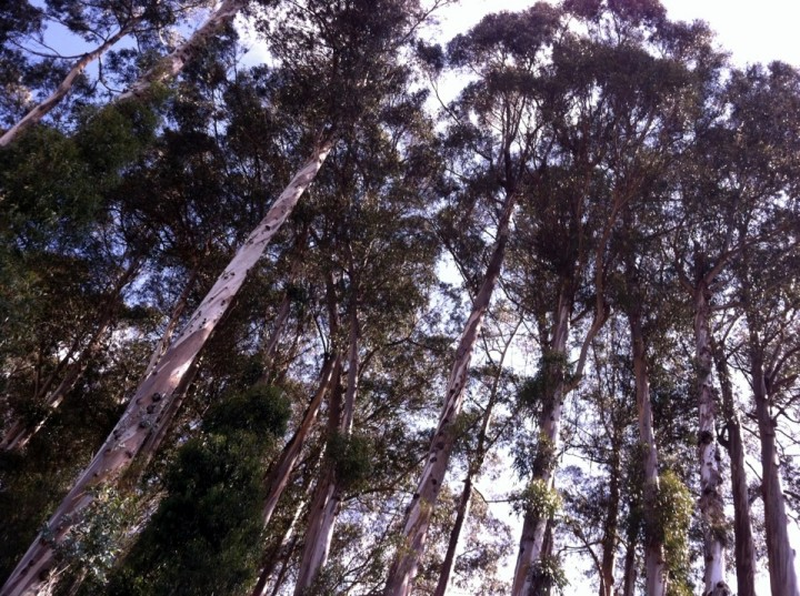 Eucalyptus trees on university land in the Berkeley hills. Photo: Tracey Taylor