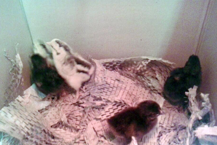 The Rosa Parks Elementary School chickens one day after they were born in April. The two lighter-colored chicks, in the back left corner, were the ones that were stolen. (One of them is hard to spot and appears more like a blur.) Photo: Tanya Stiller