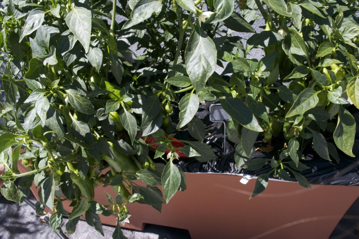 Closeup of the rare chiles Comal is growing in its rooftop garden. Photo: Eden Teller