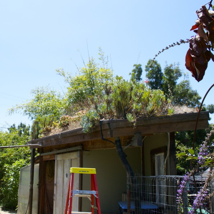 The EcoHouse's storage shed roof has gone through several changes, from edibles to succulents. Photo: Eden Teller