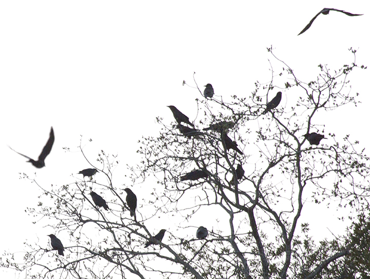 Crows staging in a tree after sunset. Photo: Elaine Miller Bond