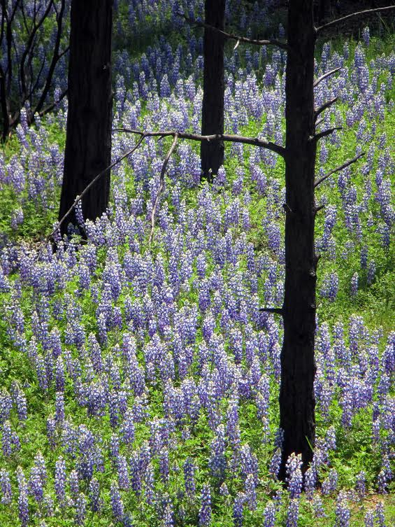 4/30/2014 view of lupines and burned trees from Forest Road 1S30 near Spinning Wheel Ranch. Photo by Dusty Vaughn, USFS. #RimFire — in Groveland, CA.