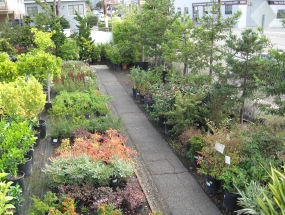 The nursery carried a variety of shrubs and trees, including a selection of plants suitable for Japanese style gardens. Photo: Dwight Way Nursery