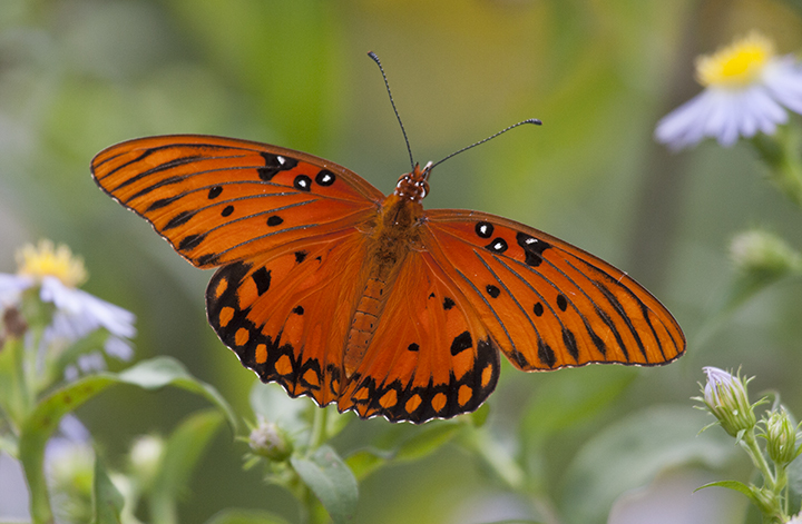Gulf fritillary, a nonnative yet pretty flutterer in Berkeley gardens. Photo: Elaine Miller Bond