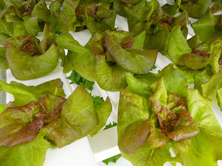 Living Butterhead Lettuce being grown by Local Greens. Photo: courtesy Local Greens