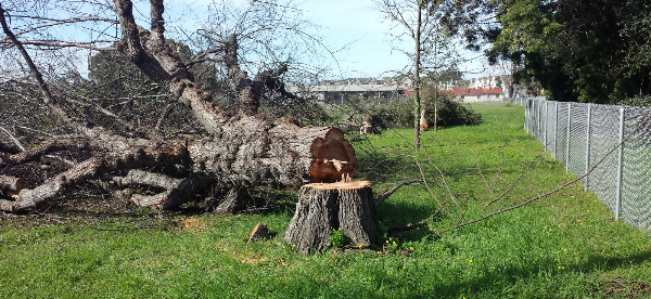A tree that was cut down in Albany by UC Berkeley on Thursday morning. Photo: Occupy the Farm