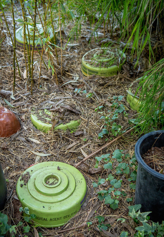 Land mines in Marcia Donahue's garden. Photo: John Storey.