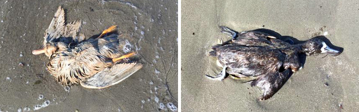 These shorebirds and several other animals and animal parts washed up Thursday on a Berkeley beach. Photo: Susi Jensen