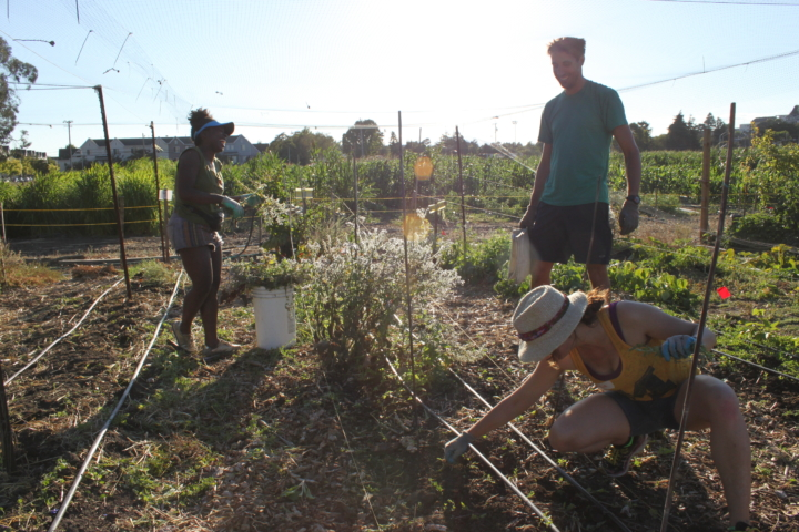 Melanie Charles, Mark Jones and Julia Raskin pick weeds at the Gill Tract farm on a recent Tuesday night. Photo: Kathleen Costanza.