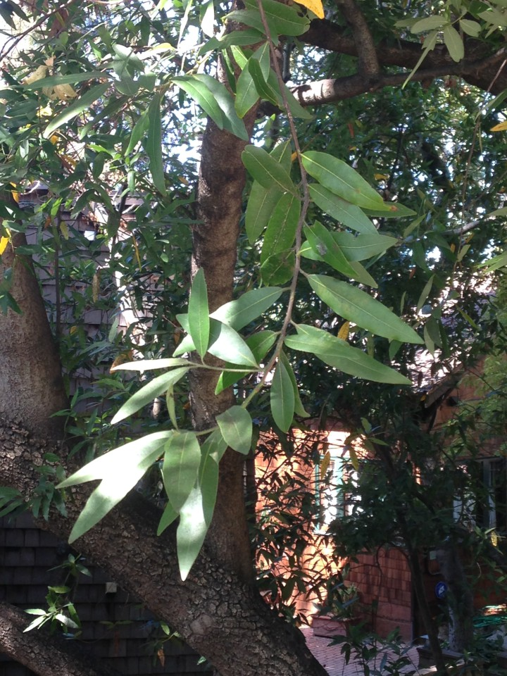 Bay laurel trees are more susceptible to falling than some trees. Photo: Mary Flaherty