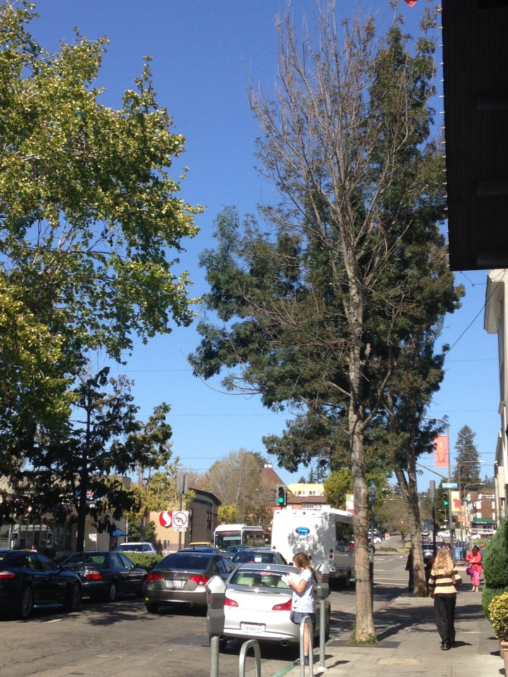 One of several unhealthy Modesto Ash trees on Shattuck Avenue in the Gourmet Ghetto. The trees on the west side of the street near the Cheese Board have been trimmed of dead branches. Photo: Mary Flaherty