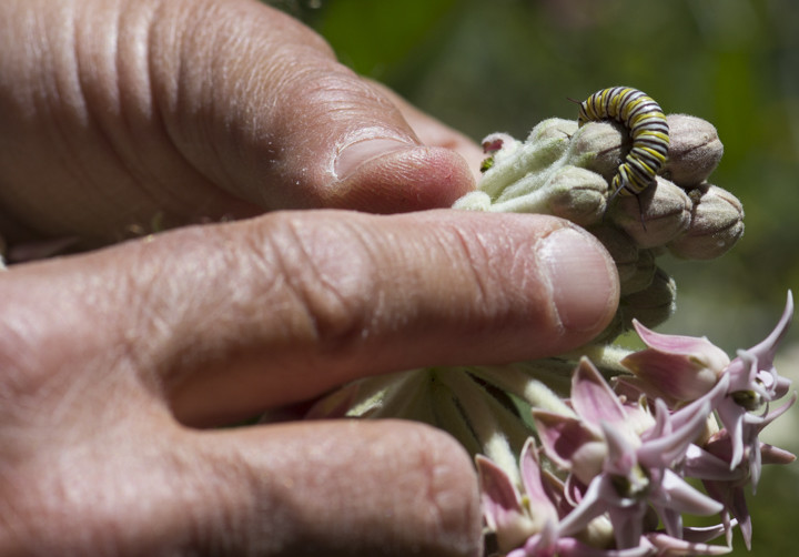 "[INSERT PHOTO: 0075 CAPTION: Alan Kaplan, retired ranger from Tilden Park, shows me a monarch caterpillar on a milkweed. ""This,"" he says, ""is a butterfly."" Photo: Elaine Miller Bond]"