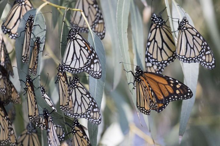 [INSER[INSERT PH[INSER[INSERT PHOTO: 1776 CAPTION: Monarch butterflies. Photo: Elaine Miller Bond]