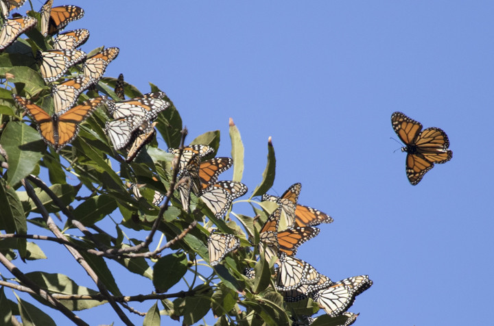 [INS[INSERT PHOTO: 2898 CAPTION: One monarch joins the party. Photo: Elaine Miller Bond]dth=