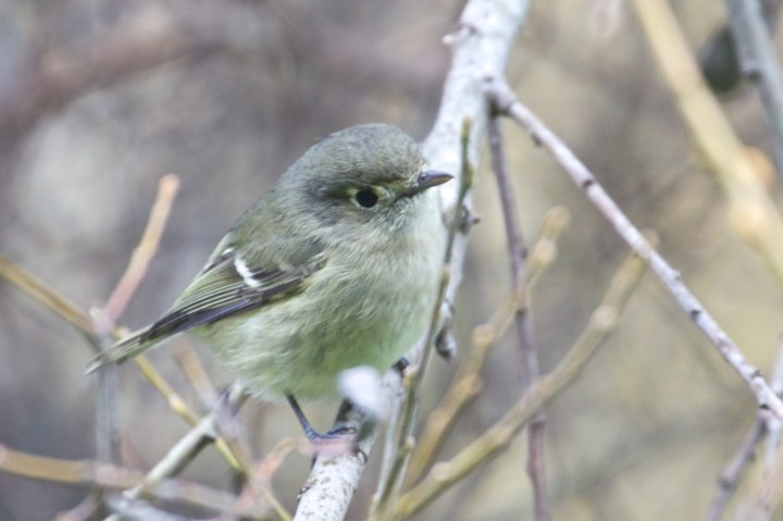 A Hutton's Vireo spotted on Albany Hill. Photo by Alan Krakauer