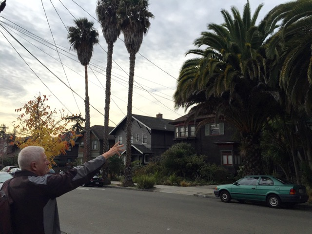 Johnson points out two types of palm trees planted side by side on Hillegass Avenue. The desert palm palms are on the left and the xx are on the right. Photo: Frances Dinkelspiel