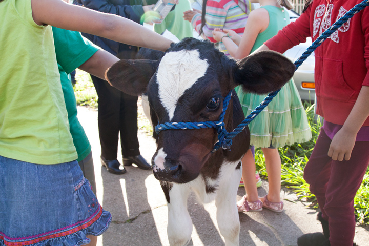 Cow visit to LeConte on March 17, 2016. Photo: Kelly Sullivan