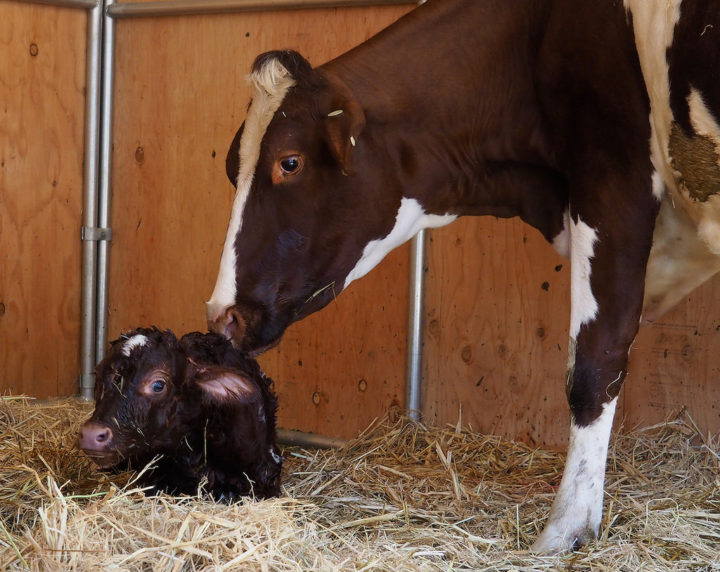 Titan with his mother Sweet Pea shortly after his birth on Tuesday May 10,. Photo: Nancy Rubin