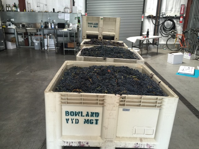 Grapes waiting to be crushed at Covenant. Photo: Frances Dinkelspiel