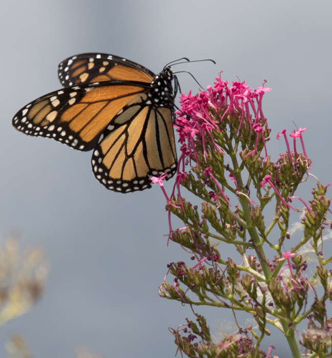 Monarch feeding on a nonnative plant, red valerian (Centranthus ruber). Photo: Elaine Miller Bond