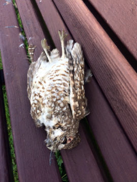 This dead owl was found Sunday in a Berkeley park. Photo: Urban Bird Foundation