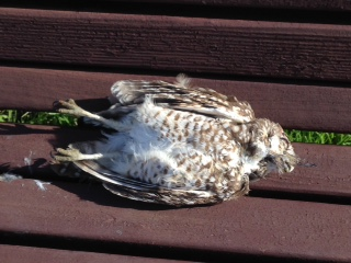 This dead owl was found Sunday in a Berkeley park. Photo: Heidi Sachs