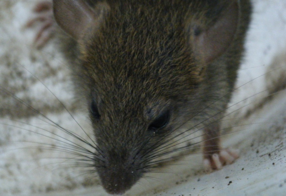 Rats Chew Car Wires Enter Homes In Berkeley Hills