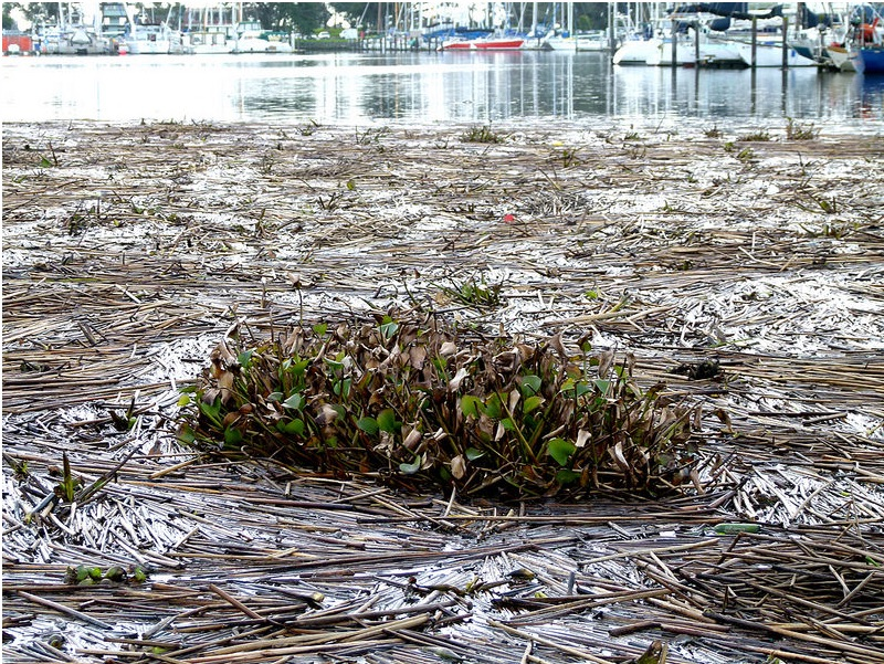 Water hyacinth and tule reeds in the East Bay water on Feb. 21. Photo: Jef Poskanzer