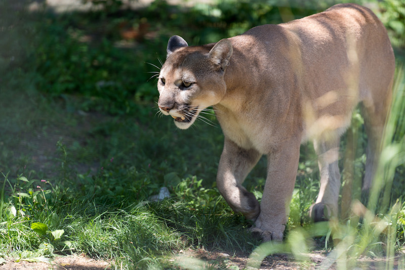 Mountain Lion Spotted In Berkeley Hills Third Sighting This Fall Berkeleyside