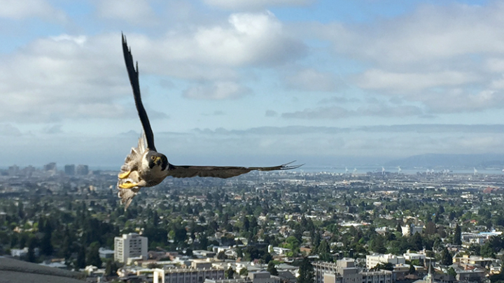 One of the Campanile's peregrine falcons flies over campus.