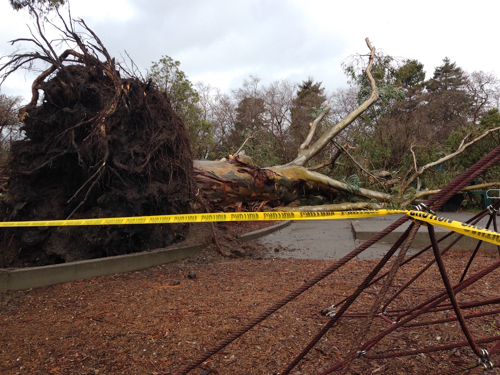 A eucalyptus tree fell into the playground at King Park on Hopkins Street sometime during the night Tuesday.