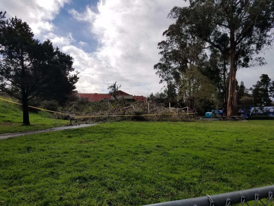 The tree that fell Tuesday was part of a cluster of eucalyptus trees in King Park.