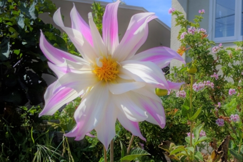 pink, white and yellow flower