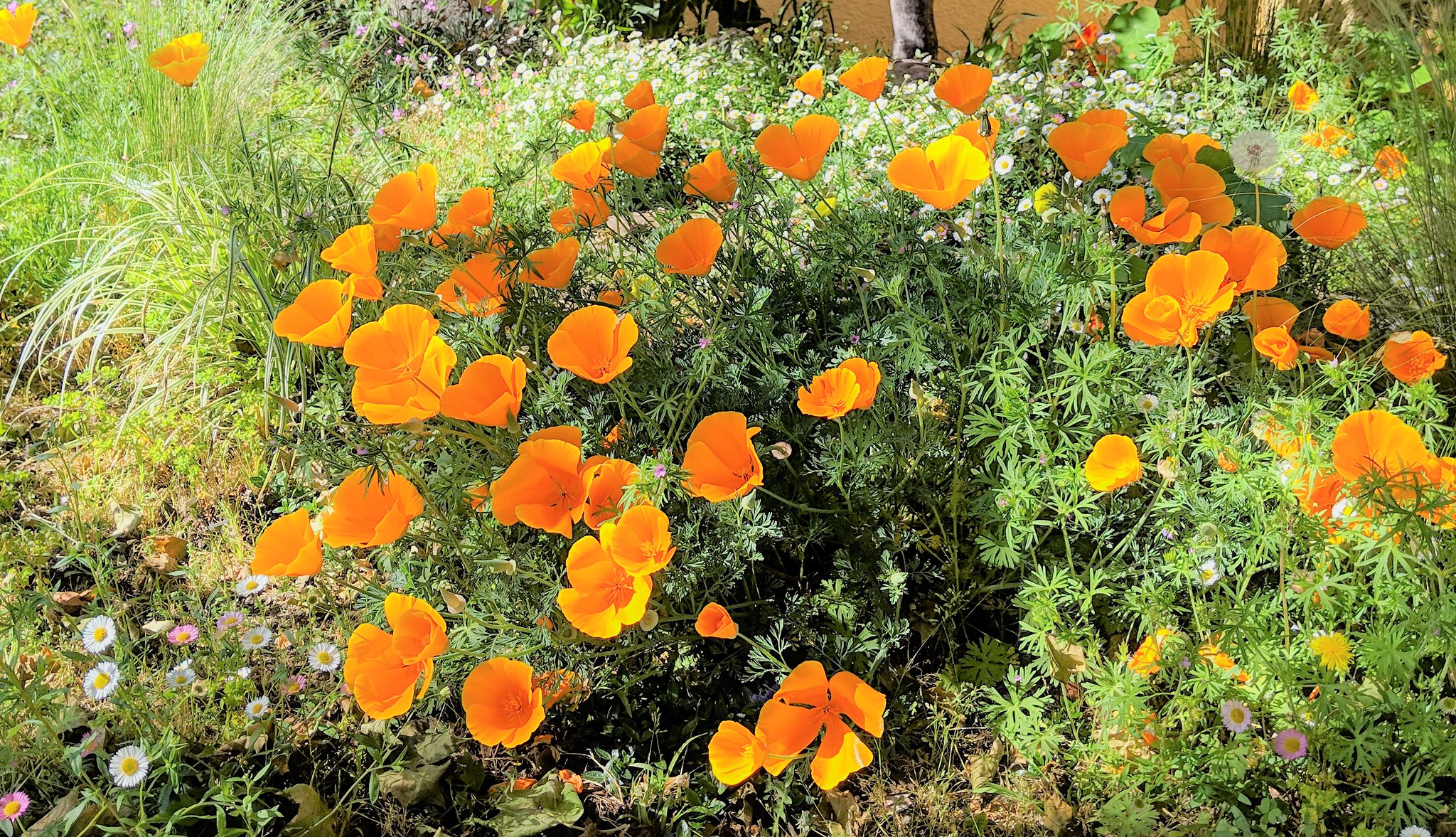 a bunch of poppies in bloom