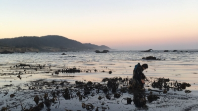 Salt Point Seaweed hand harvests kelp off the coast of Mendocino.