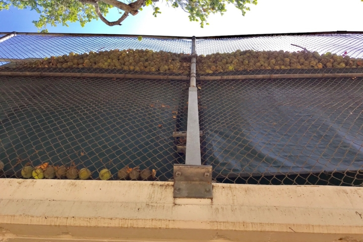 Lots of tennis balls trapped in fence of courts on Bancroft Way in Berkeley