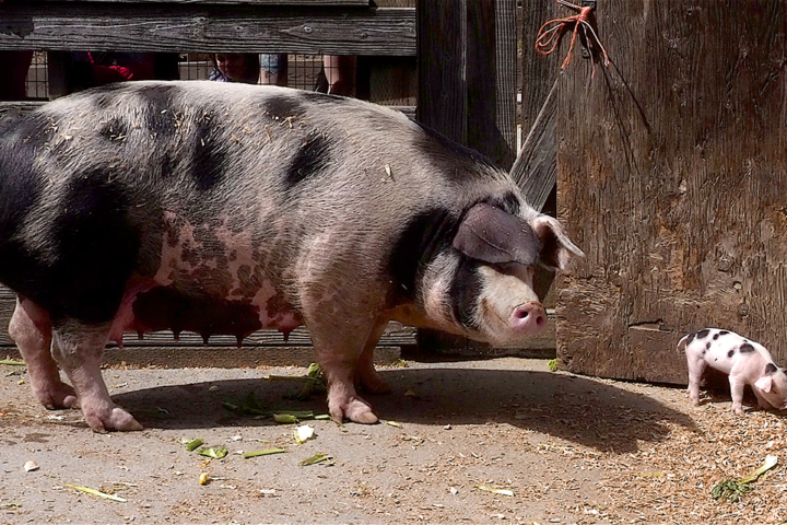 Sow and one-week-old piglet at Tilden Little Farm