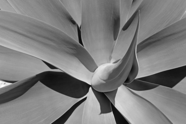 Succulent plant photographed in close up and black and white.