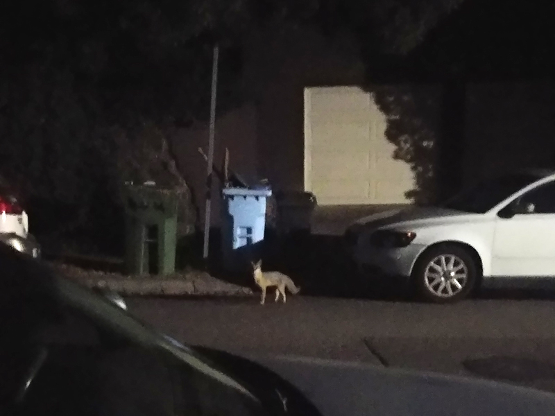 LISTEN: Haunting sound of gray fox barking at Berkeley man and his poodle