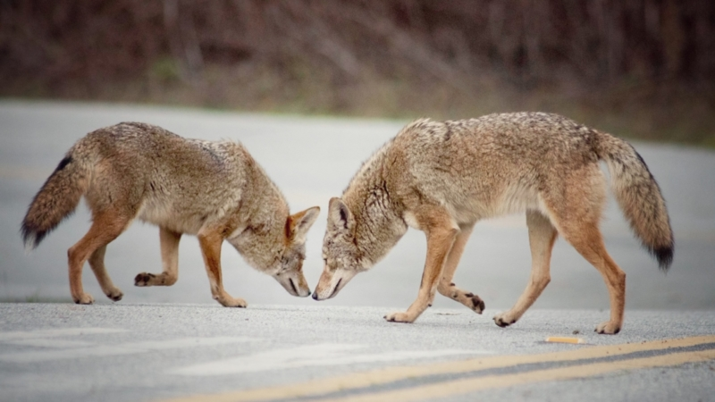 two coyotes nose to nose