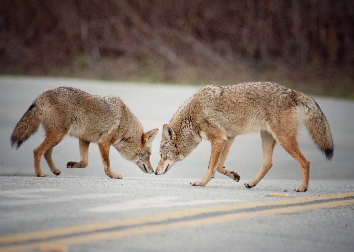 Coyotes are cavorting in Tilden Regional Park