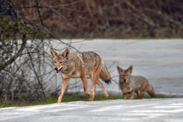 coyotes in park