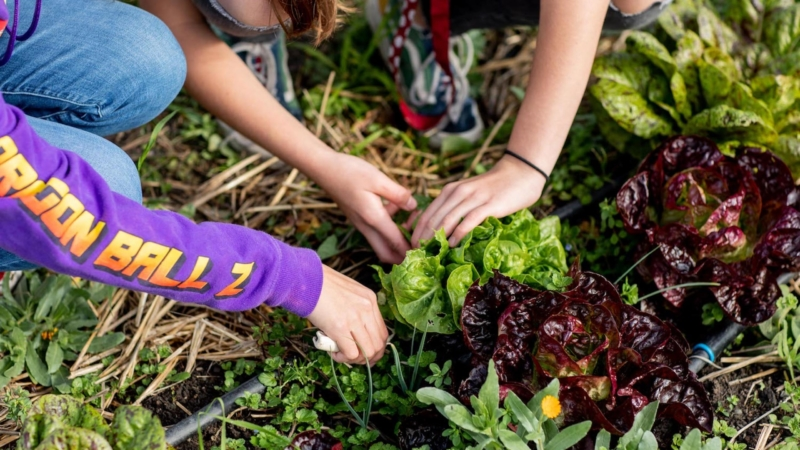 Kids pick lettuce at the Edible Schoolyard garden classroom.