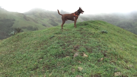 Dogs have been allowed off-leash at several East Bay Regional parks, like Sibley Volcanic Regional Preserve, but EBRPD are asking owners to leash dogs in keeping with shelter-in-place mandated social distancing practices.
